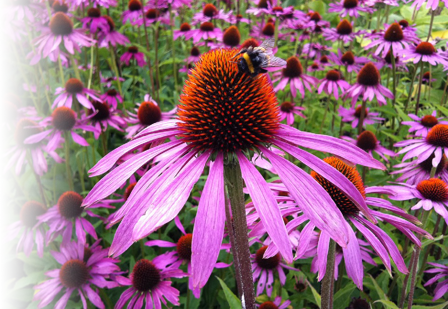 How Does Echinacea Work for Cold and Flu Symptoms?